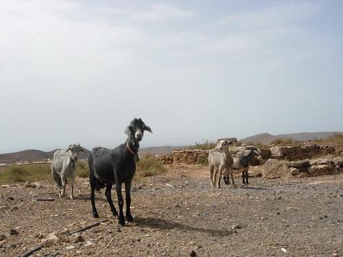 Las cabras de Manuel Navarro, el Viejo Navarro (Fuerteventura)