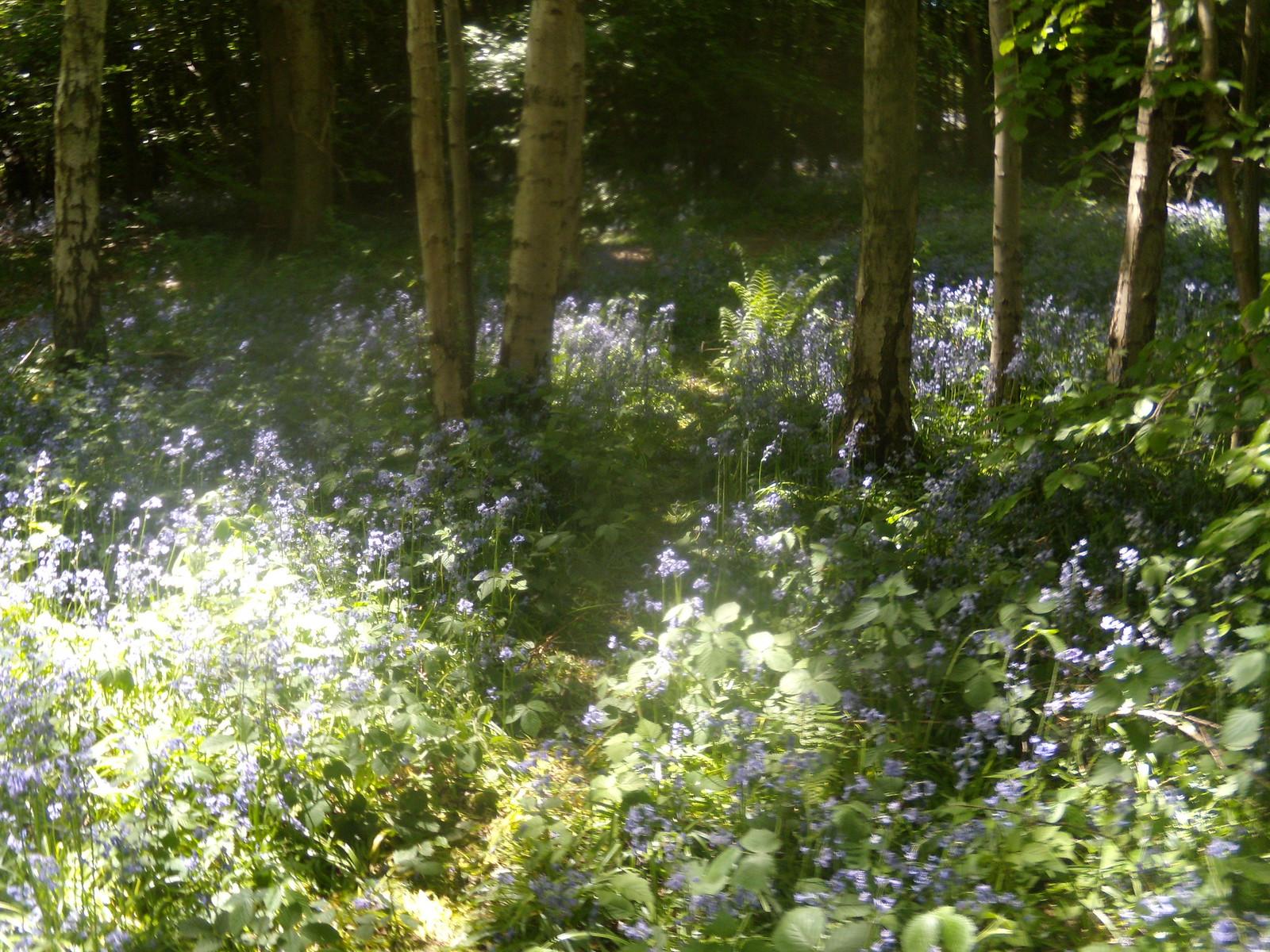 Bluebells Pangbourne round walk