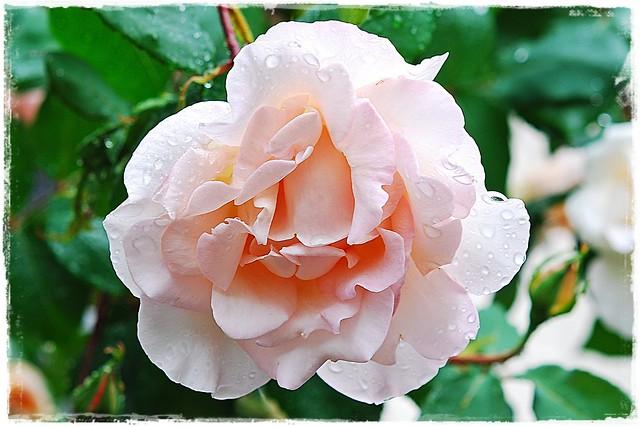 6 - 27 mai 2010 Maisons-Alfort Une petite promenade après la pluie... 37 rue Edmond Nocard Gouttes sur une rose