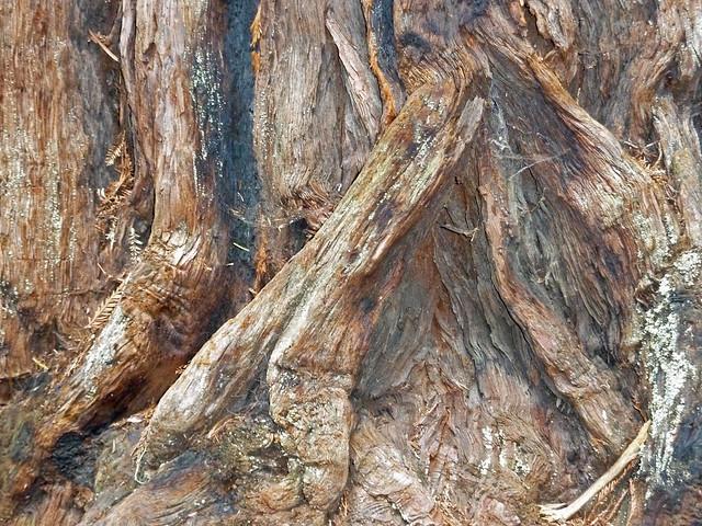 Bark on a Sequoia