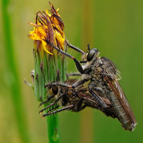 Stinging bug's sex | by STE