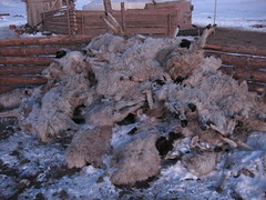 Dead sheep | by East Asia & Pacific on the rise - Blog
