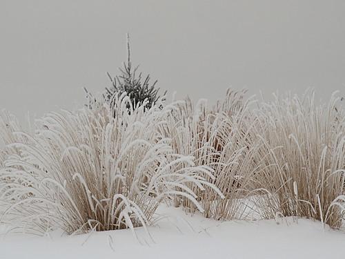 white mist snow cold minnesota fog frost hoarfrost gray rochester bigblue ornamentalgrass grayday