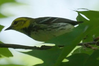 Black-throated Green Warbler | by Mike's Birds