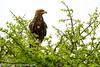 Wahlberg's Eagle - Mara Kenya_S4E1865 by fveronesi1