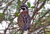 Yucatan Bobwhite (Colinus nigrogularis) male by shyalbatross232