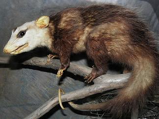 White-eared Opossum (Didelphis albiventris) .............. Original= (3809 x 2829)