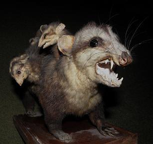 White-eared Opossum (Didelphis albiventris) .............. COMADREJA PICAZA ~ Original = (2897 x 2715)