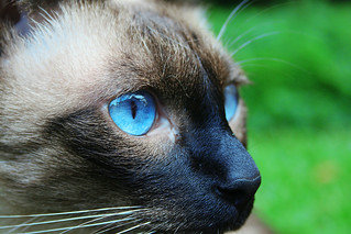Blue Eyed Cat | by Felinest