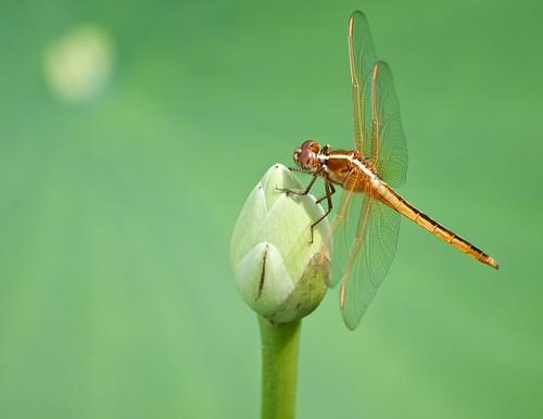 dragonfly © 70300mm washingtonnc pamlicoriver americanlotus garyburke goldenwingedskimmer olympuse510 americanlotusbud northcarolinadragonfly