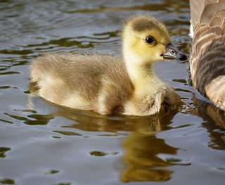 Baby Goose (Canada Gosling) | by Mike's Birds