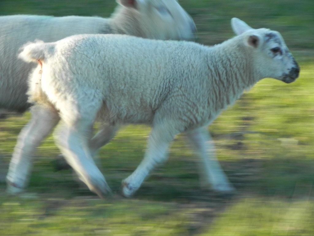 running lambs! xD | Leigh~Rogers | Flickr
