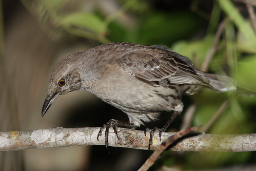 Bahama Mockingbird | by Dan Irizarry