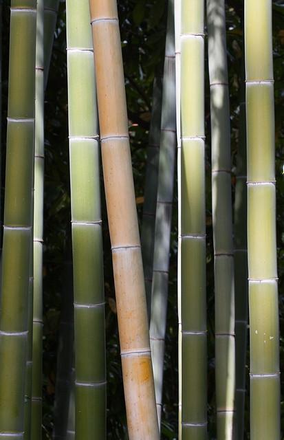 bambous-palais-des-Boromées-3-bis