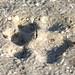 Flickr photo 'Bobcat (Lynx rufus) Track' by: Mary Keim.