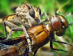 Robber Fly (Triorla interrupta) with Dragonfly (Plathemis lydia) | by Thomas Shahan