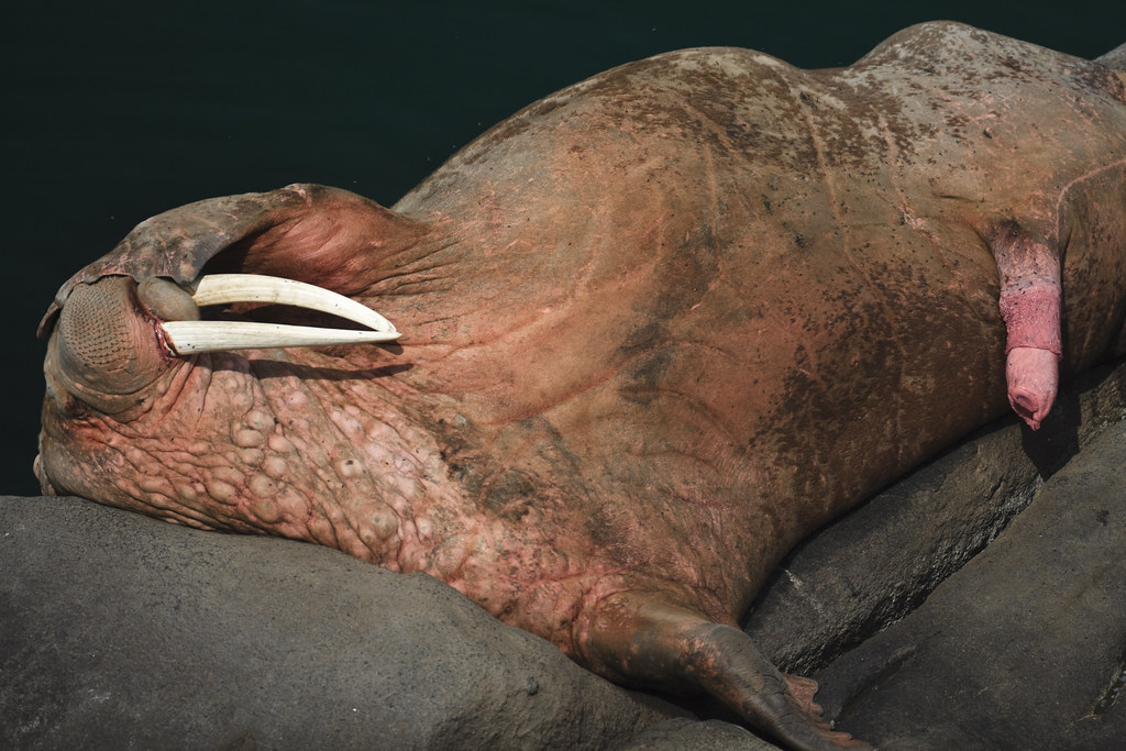 Walrus sucking its own penis