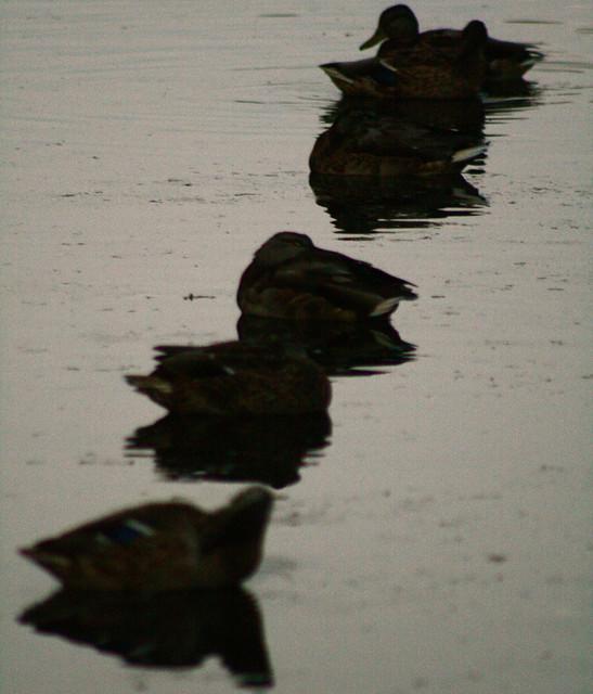 dusk/ ducks