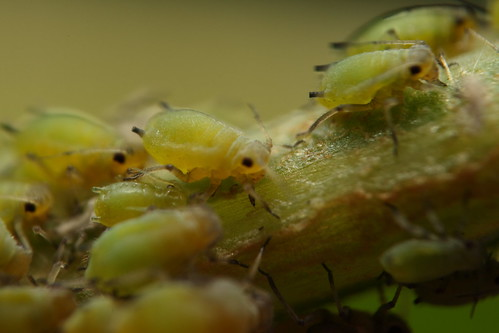 Aphid III | by Gustavo Mazzarollo