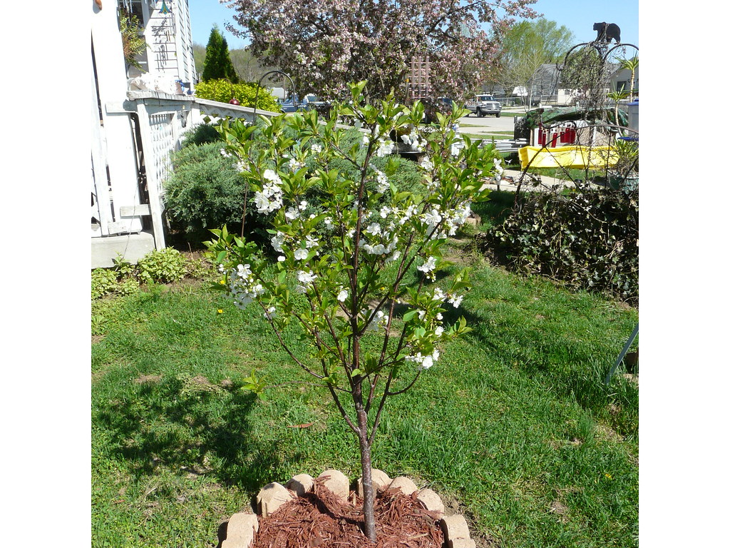 My Dwarf Cherry Tree A Dwarf Northstar Cherry Tree In Our Flickr