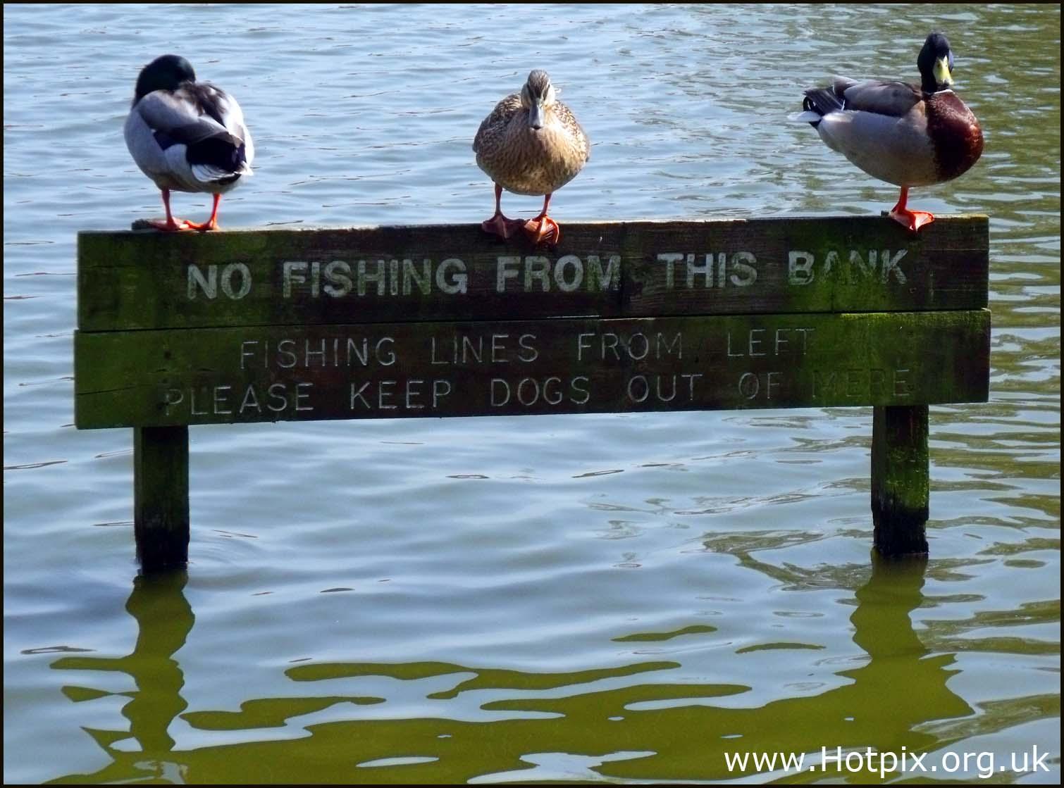 Nature,birds,ducks,water,sign,no,fishing,from,this,bank,No Fishing,f,birds ducks water sign no fishing from this bank No,Fishing from,cheshire,knutsford,northwich,middlewich,M6,motorway,hotpix!