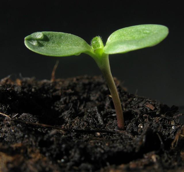 Sunflower, Seedling, Germ Bud, Keimling, Sämling, Sonnenblume
