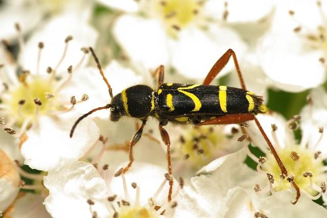 Wasp beetle (Clytus arietus)