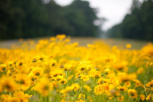 flower field yellow gardens insect landscape nc dof northcarolina explore winstonsalem reynolda reynoldagardens interestingness427 nikonafsnikkor50mmf14g explore052610 tscf2010ar