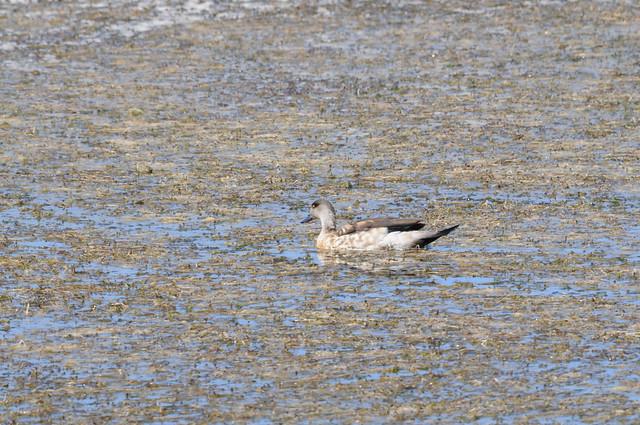 Pato cordillerano, Pato creston, Crested duck; Lophonetta specularioides; Reserva Nacional Salinas Aguada Blanca, Arequipa, Peru
