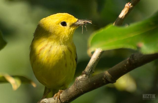 Paruline Jaune // Yellow Warbler