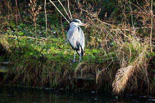 Young heron