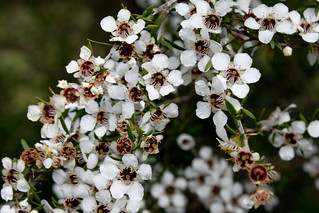 Mauka flowers Leptospermum scoparium | by brian.gratwicke