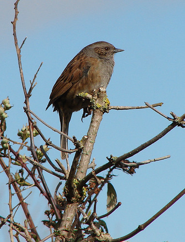 Dunnock | by Wild Chroma
