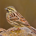 Cirl Bunting - Photo (c) Paco Gómez, some rights reserved (CC BY-SA)