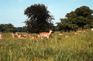 Deer in the Royal Deerpark