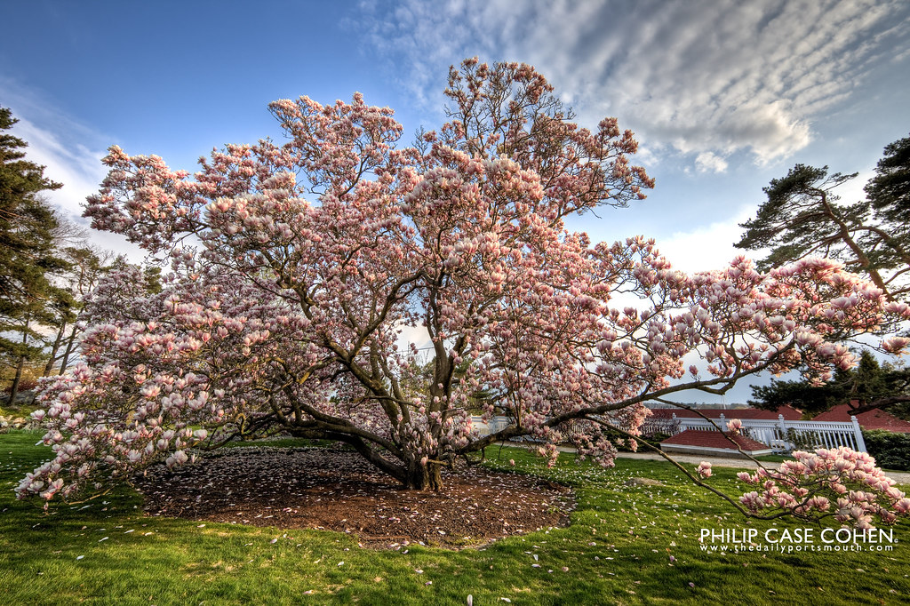 In Bloom at the Wentworth By The Sea by Philip Case Cohen