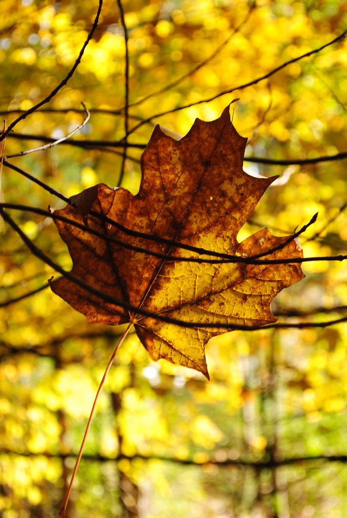 Image of a dried brown leaf against a background of trees with yellow leaves
