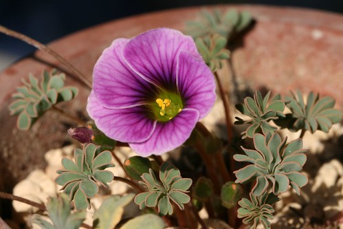 oxalis enneaphylla 'Patagonia' | by themts