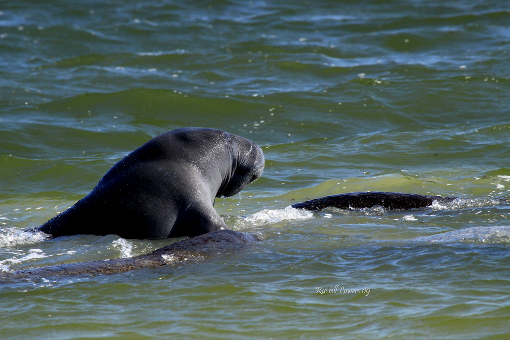 Manatee Playing in the Indian River 2012 |Manatees Playing