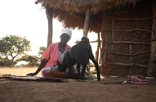 Jul/2008 - Widowed farmer Maria Ngove feeds her goat in Lhate Village, Gurue, Mozambique (photo credit: ILRI/Stevie Mann).