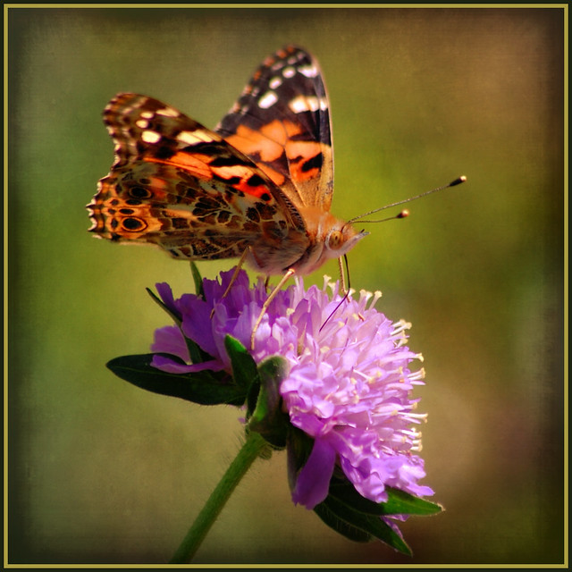 painted lady . . .