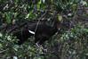 Pava aliblanca, White winged guan, Penelope albipennis; Chaparri, Lambayeque, Peru by Jaime Chang