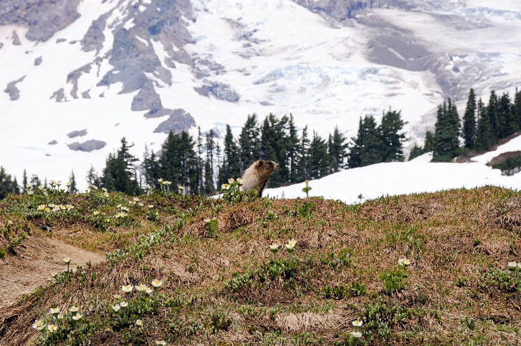 Hoary Marmot and Western Anemones
