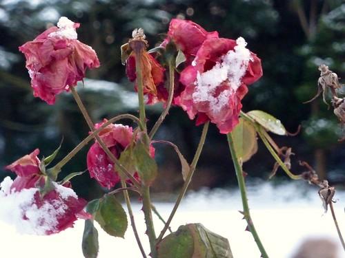 Winter Roses (09/01/2010)
