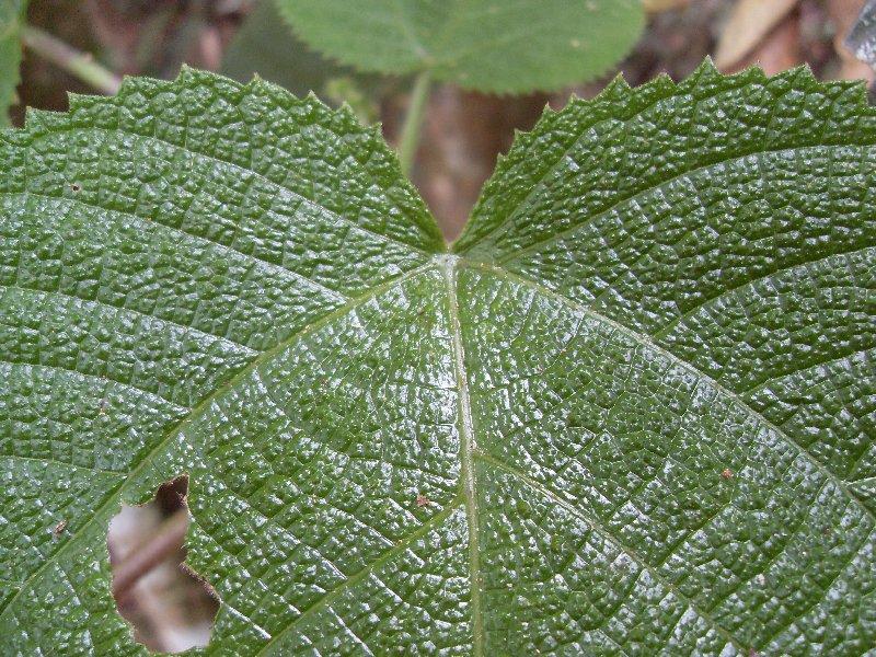 Dendrocnide cordifolia - leaf detail