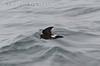 Elliot's Storm-Petrel (Oceanites gracilis) by macronyx