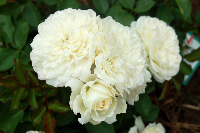 3 inch blooms on the tiny rose bush 'White Meilland'