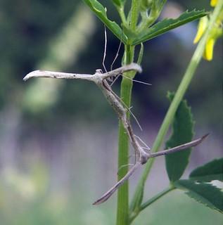Emmelina monodactyla   by Bárbol