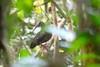 Spot-breasted Ibis (Bostrychia rara) by bonobro