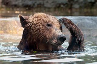 Scratching bear | by Tambako the Jaguar